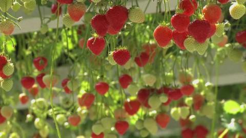 Aardbeien kweken in een kas